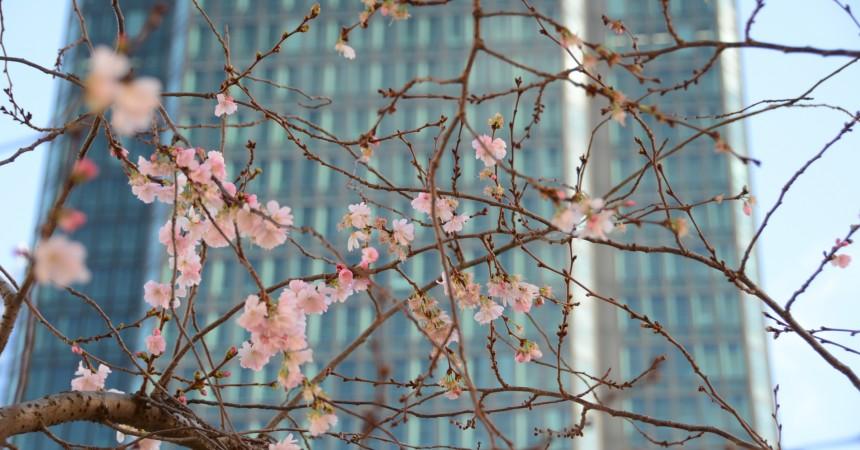 A La Défense les cerisiers sont déjà en fleur