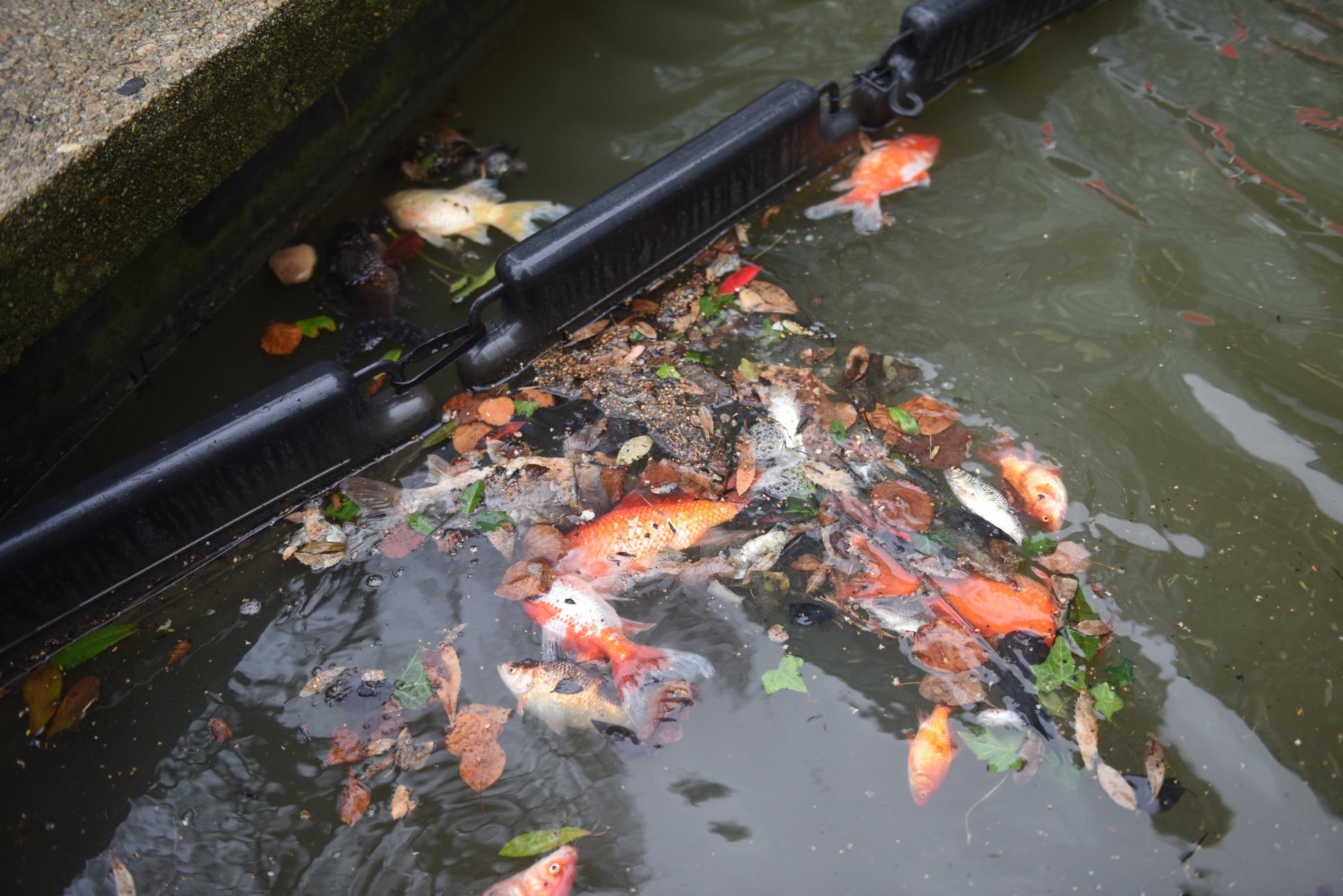 Mais qui s en est donc pris aux poissons du bassin de la for Bassin a poisson jardiland