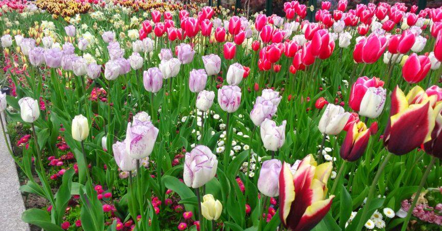 Defacto vous offre des bulbes de tulipes et de jacinthes