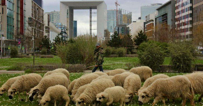 Ce dimanche vous allez pouvoir vous balader avec des moutons