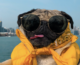Le chien star Doug the Pug s'invite aux 4 Temps